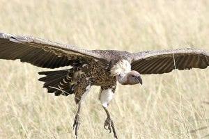 vulture spies